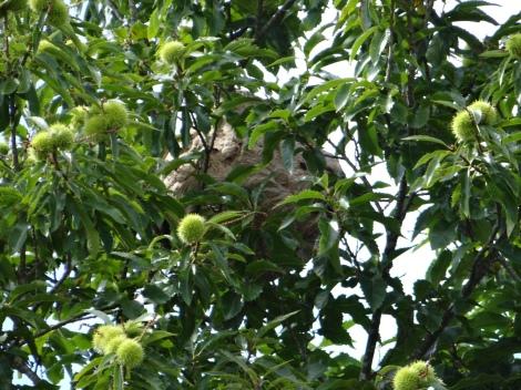 ninho-velutina-castiñeiro